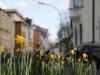 Die Narzissen blühen im April 2016